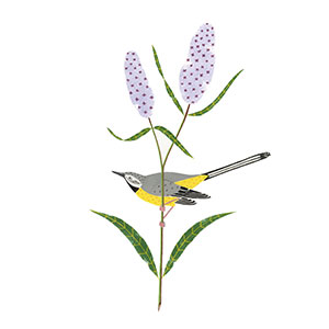 Grey Wagtail Illustration by Francesca McLean for Sesame Drawing Club Exhibition